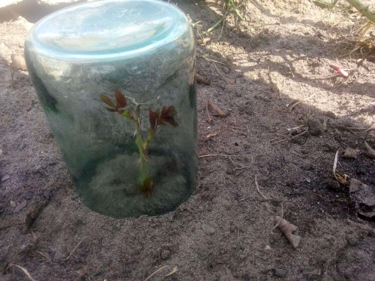 Как размножить розу черенками как размножать розы в домашних условиях