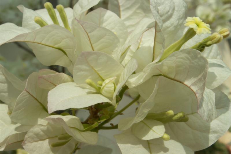 Белая Бугенвиллея