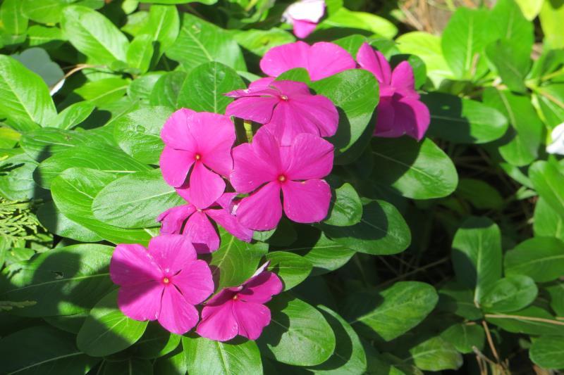 Катарантус- барвинок розовый,фото
