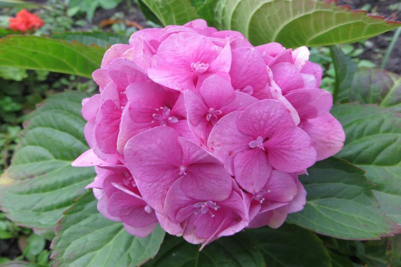 Гортензия - hydrangea -фото