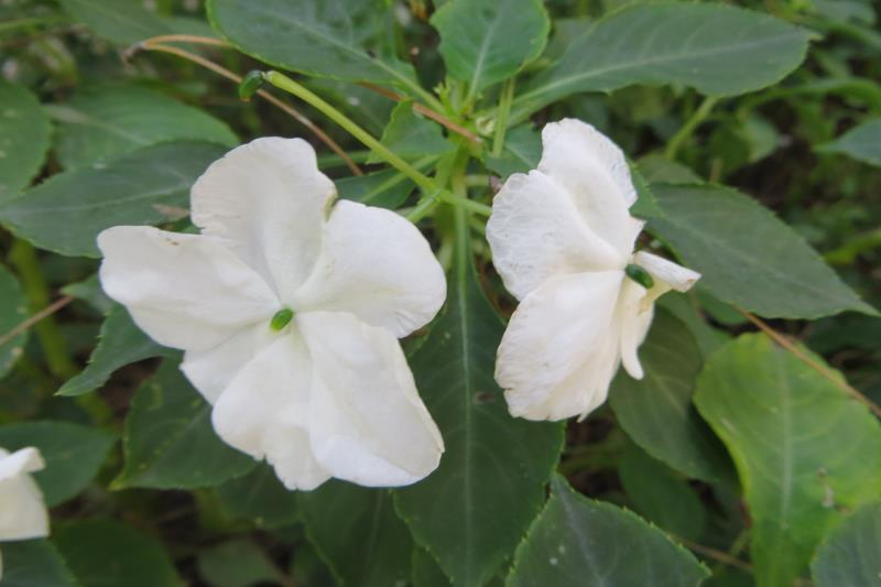 Белый бальзамин