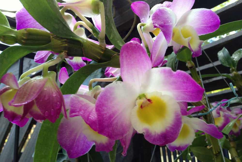 Dendrobium blagorodnyj