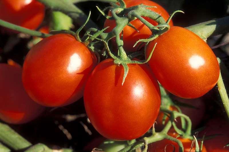 Томат - помидор
