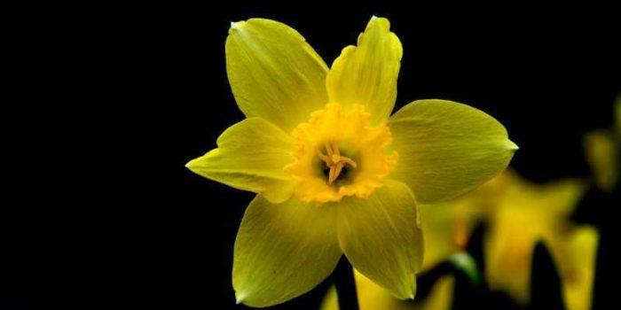 Нарцисс цветок фото