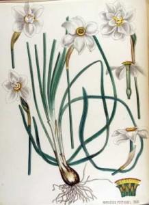 Строение - Нарцисса поэтического(Narcissus poeticus). Ботаническая иллюстрация из книги Яна Копса «Flora Batava», 1800—1934