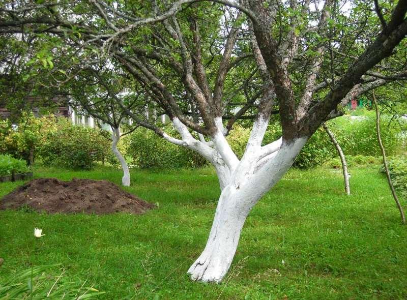Побелка яблонь весной чем белить